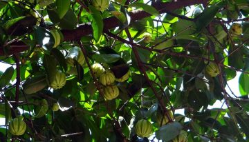 10 Major Benefits of Garcinia Cambogia