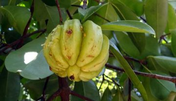 Burn Fat and Control Appetite with Garcinia Cambogia