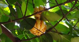 Slim Down Fast With Garcinia Cambogia