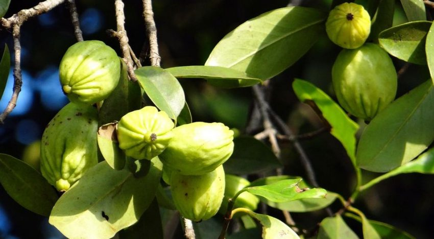 Can Garcinia Cambogia Really Help Lose Weight?